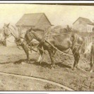 C'est la période des labours. Nous voyons Albert à la charrue en 1919, préparant le terrain à proximité de la demeure de son père, Pierre Fortin.