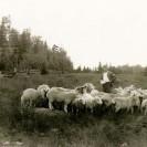"""Vers 1930, Donat Magnan faisait l'élevage des moutons. À l'automne avant de les entrer dans la bergerie, ils étaient """"déshabillés"""" de leur laine. Celle-ci permettait la confection de vêtements chauds pour l'hiver."""