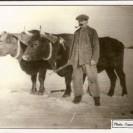 """En 1920, Alfred Fortier attelait des boeufs pour faire une grand partie des travaux sur la ferme. Nous voyons ici ces impressionnantes bêtes sur la ferme située près du """"Ferry Road""""."""