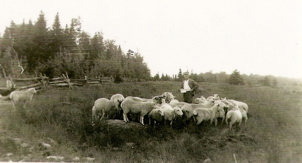 Sur nos fermes d'autrefois, plusieurs cultivateurs élevaient un troupeau de moutons. Ces animaux fournissaient une chair très appréciée en plus de la laine très utilisée dans les vêtements du temps. Nous apercevons sur cette photographie Donat Magnan entouré de son troupeau de moutons qu'il a attiré avec de la moulée.